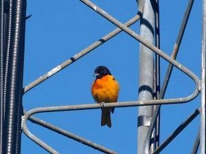 Oriole on a tower